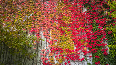Autumn is coming (Job I) Tags: autumn leaves colours dortmund germany seasons nature landscape city red green pink