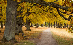 Autumn path (fredrik.gattan) Tags: trees oak path bench autumn yellow lines drottningholm stockholm sweden eker landscape