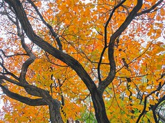 I stood underneath this vision in gold and felt my heart almost burst with joy... (Lana Pahl / Country Star Images) Tags: treepics treemendoustuesday ilovenature autumncolors autumnseason foreverautumn