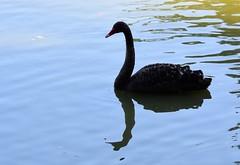 (:Linda:) Tags: germany bavaria franconia town coburg rosenau castle rosenaupark pond bird blackswan
