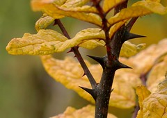 One thorn of experience is worth a whole wilderness of warning.   -James Russell Lowell (Ken Mattison) Tags: thorns fall autumn nature outdoor closeup plant foliage oakleaftrail milwaukee wisconsin panasoniclumix fz1000 color colours yellow sharp pointed barb