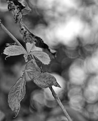 Virginia Creeper-HMBT! (Cooling Down Again Yay!!!) Tags: monochromebwbokehthursday mono branch virginiacreeper climber vine backyard bokeh