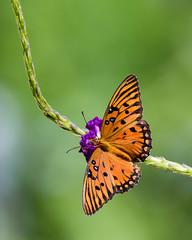 Gulf Fritillary (Michael R Hayes) Tags: gulffritillary passionbutterfly butterfly butterflies nature florida