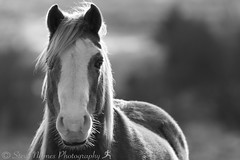 Horse December 29, 201427.jpg (Steve Nelmes Photography) Tags: cameragear blaenavon otheranimals gwent canon400mm56 wales southwales canon7dmk2 valleys stevenelmesphotography southwalesvalleys blackandwhite