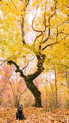Bobs tree (marcusholmqvist) Tags: autumn hst fall tree oak leaf leaves dog french bulldog fransk vsters sweden landscape portrait portrtt nature color