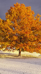 20161023_171156 Snow in the fall (MiFleur...Thank You for 2 Million Views) Tags: oaktree chne automne autumn fall colors couleurs neige snow tree arbre fiery flamboyant feuillage