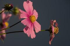Morning Light (Shastajak) Tags: cosmos cosmosbipinnatus flower mygarden morninglight
