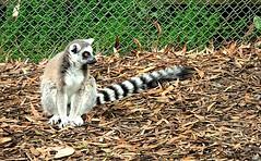 Lemur eyes (JayVeeAre (JvR)) Tags: 2016johannesvanrooy johannesvanrooy johnvanrooy gimp28 lemur picasa3 httpwwwpanoramiocomuser1363680 httpwwwflickrcomphotosjayveeare johnvanrooygmailcom gimpuser gimpforphotography canonpowershotg10 hamilton newzealand 2016 hamiltron hamiltonzoo hamiltonzoopark hamiltonhilldalezoopark nature animal animals ringtailedlemur