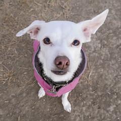 Miss Pinky (Ellen Soohoo) Tags: pink mutt dog oki 2016 clothes jacket
