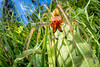 Sac-spider Stroll (johnhallmen) Tags: arachnid spider yellowsacspider eutichuridae canon760d canon2428stm cctv fisheye macro canon270ex