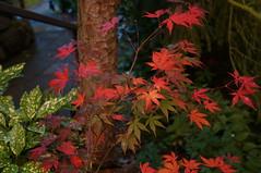Herbstfarben (barmicity) Tags: herbst farbig herbstlaub herbstbltter autumn bltter baumstamm pflanze ahorn