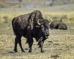 American Bison Along Mormon Row, Jackson Hole Wyoming (Hawg Wild Photography) Tags: americanbisonalongmormonrow jacksonholewyoming wildlife nature terrygreen nikon nikon600mmvr nikond4s