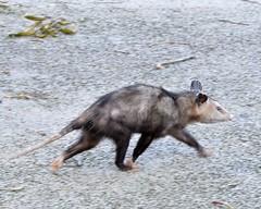 F7K_6145 (68photobug) Tags: 68photobug nikon d7000 nikkor 28300mm usa centralflorida polkcounty lakeland circlebbar reserve preserve refuge park marsh sanctuary wetlands pinescrub nature naturecenter discoverycenter environmentalcenter wildlifemanagement alligatoralley marsupial mammal opossum