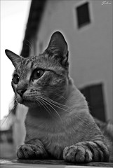 Gato Mallorqun (2016) (Selene's Photography) Tags: gato cat gatos cats felino felinos animal animals animales mallorca palma ojos eyes atigrado blancoynegro blackandwhite
