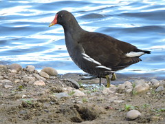 Moorhen (deannewildsmith) Tags: moorhen bird earthnaturelife