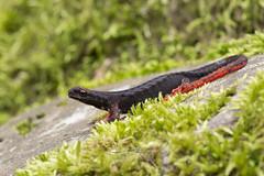 Salamandrina dagli occhiali Salamandrina terdigitata