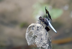 Common Whitetail Dragonfly -- Male (Plathemis lydia); Albuquerque, NM, Tingley Ponds Park [Lou Feltz] (deserttoad) Tags: insect animal dragonfly whitetail flora park pond odonate newmexico