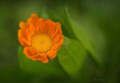 Smoothness (Carla Mountain Spirit) Tags: flower calendulaofficinalis nature green orange bokeh macro macrodreams pentacon50mm vintagelens carlafreire