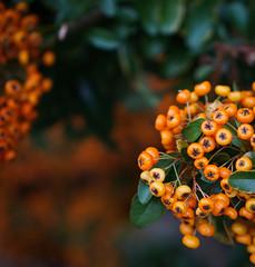 Autumn Berries (judy dean) Tags: judydean 2016 sonya6000 autumn berries cotoneaster orange