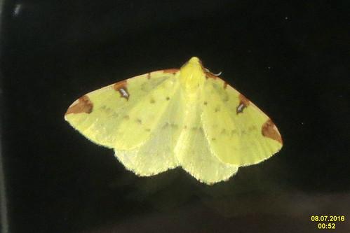 Brimstone moth (rp)