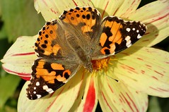 painted lady................. (Suzie Noble) Tags: butterfly garden paintedlady strathglass struy dahlia insect