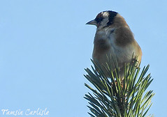 Goldfinch on Pine (tinlight7) Tags: goldfinch finch bird pine abant turkey taxonomy:kingdom=animalia animalia taxonomy:phylum=chordata chordata taxonomy:subphylum=vertebrata vertebrata taxonomy:class=aves aves taxonomy:order=passeriformes passeriformes taxonomy:family=fringillidae fringillidae taxonomy:genus=carduelis carduelis taxonomy:species=carduelis taxonomy:binomial=cardueliscarduelis stillits pintassilgocomum chardonneretlgant    pintassilgo eugo stieglitz distelvink putter europeangoldfinch eurasiangoldfinch cardellino cadernera cardina cardueliscarduelis taxonomy:common=stillits taxonomy:common=pintassilgocomum taxonomy:common=chardonneretlgant taxonomy:common= taxonomy:common= taxonomy:common= taxonomy:common=pintassilgo taxonomy:common=eugo taxonomy:common=stieglitz taxonomy:common=distelvink taxonomy:common=putter taxonomy:common=europeangoldfinch taxonomy:common=eurasiangoldfinch taxonomy:common=cardellino taxonomy:common=cadernera taxonomy:common=cardina taxonomy:common=goldfinch