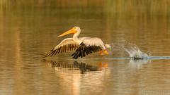 PELICANS on PARADE... (Wideangle55) Tags: 600mm sanjoaquinmarsh wildlifesanctuary sanjoaquinmarshwildlifesanctuary wideangle55 nikon d800 colors birds red yellow 14teleconverter whitepelican pelican
