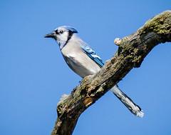 Blue Jay (shooter1229) Tags: avian wetlands bird20iocreplaceoldbirdlist nature bird outdoors heronpark bluejay animal corvidae cyanocittacristata