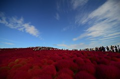 kochia (totomai) Tags: nikond7000 red oneperfectday autumn japan ibaraki hitachiseasidepark surreal kochia