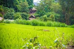 Poblado Hill Tribe - Chiang Mai (M.Pellitero) Tags: rural verde arrozal hilltribe poblado tribu