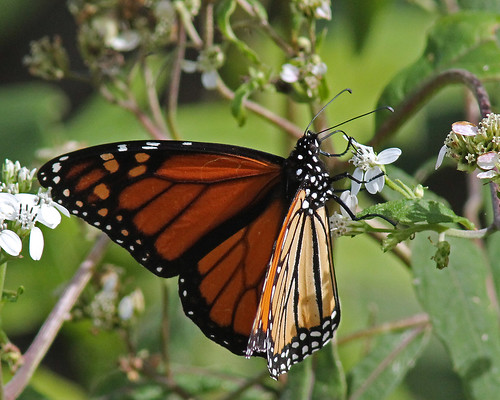 Monarch (Danaus plexippus) on Frostweed (Verbesina virginica)