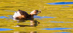 Shakin' Dabchick! (Peter J. Ham.) Tags: birds grebe moore cheshire warrington daresbury reserve food fish nature autumnwatch country file sunshine bbc spoil heap canon 7d avies aves oiseaux autumn leaves fall autumnleaves