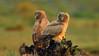 Dusky eagle-owl (Zahoor-Salmi) Tags: dusky eagleowl zahoorsalmi salmi wildlife pakistan wwf nature natural canon birds watch animals bbc flickr google discovery chanals tv lens camera 7d mark 2 beutty photo macro action walpapers bhalwal punjab