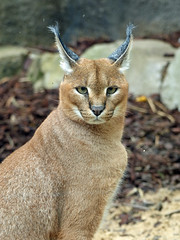 caracal; (papy53) Tags: caracal mnageriejdp