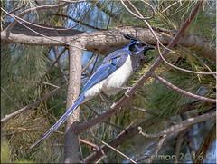 Black-throated Magpie Jay (fwsalmon) Tags: birds blackthroatedmagpiejay calocittacolliei sandiego california canon7dmarkii canon100400lii