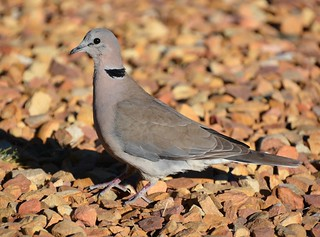 Cape Turtle Dove Franschhoek tagged