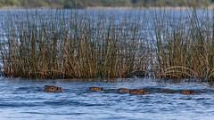 IMG_0241 Familiar swimming (Rodolfo Frino) Tags: wild couple capybara carpincho fauna swimming family little threelittlecapybaras father mother wow water grass pareja babies baby day animalcouple natura