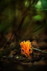 """Yell Fire!"" (Joe Effendi (Always Late!)) Tags: rikenonauto50mmf17 rikenon50mmf17 effendi fuji fujifilm xe1 fujifilmxe1 nature outdoor dof depthoffield bokeh m42 manuallens 50mm vintagelens mushroom fungi flora"