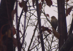 Birdwatching 20141211 (caligula1995) Tags: 2014 bird finch plumtree rain