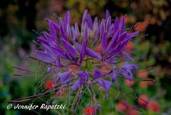 Blume in Makro (Bernsteindrache7) Tags: autumn color flora fauna flower garden bloom blossom blume outdoor landscape park sony alpha 100