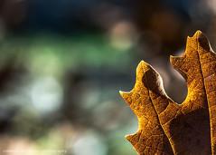 P275387 (Roberto Silverio) Tags: foglia macro sun sole brown green bokeh olympuscamera olympusphotography zuikolens zuikodigital italia italy robertosilveriophotography like likefotlike nature naturalmente