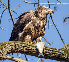 Stay away !! (tresed47) Tags: 2016 201611nov 20161114conowingoeagles birds canon7d conowingo content eagle folder maryland peterscamera petersphotos places takenby us ngc
