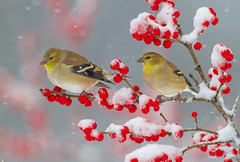 Change of Season (Bill McMullen) Tags: americangoldfinch goldfinch songbird winter snow snowstorm cold berries animal wildlife fauna