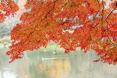 maple leaves on the pond. (cate) Tags: autumn maple pond duck