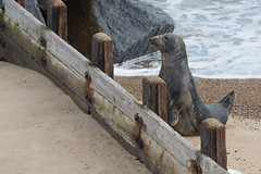 You can do it Mrs Seal! (ToriAndrewsPhotography) Tags: horsey beach breakwater groyne seal jumping trying comic funny photography andrews tori