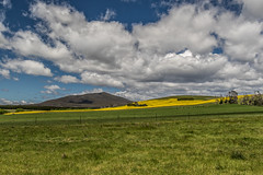 A Slice Of Gold (gecko47) Tags: landscape rural fields paddocks green gold canola crop hills clouds cattle grass fences delegate nsw hff rapeseed