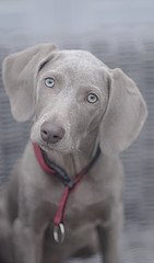 inquisitive look (halfpennysanchez) Tags: puppy dog pet animal gray texture
