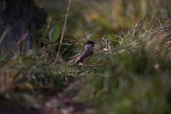 File864 (carlo612001) Tags: birds bird uccelli uccello cinciabigia cincia tit natura nature bosco wood ngc