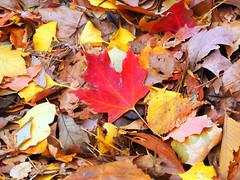 Red (Grazerin/Dorli B.) Tags: leaf leaves foliage closeup nature pattern philadelphia detail red elements