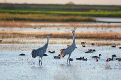 Calling - Sandhill Cranes (Brad Rangell) Tags: sandhillcranes cranes birds sanjoaquinvalley lodi california